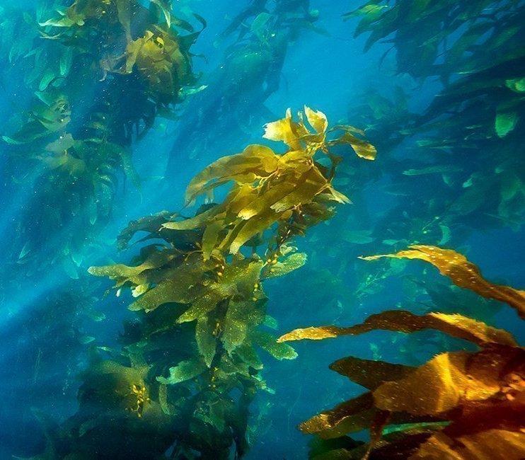 Ocean Pro - сила океану: користь водоростей для організму