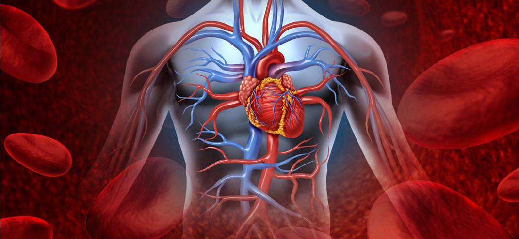 Сторінка валеолога за вересень 2018 р. Серцево-судинна система людини